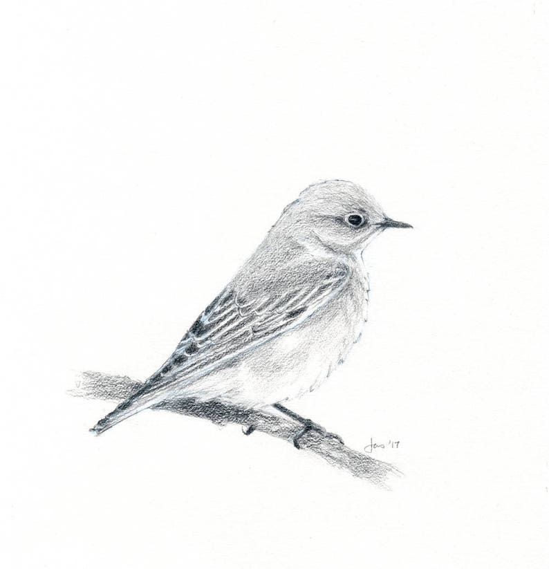 ORIGINAL Female Western Bluebird  Sketch image 0