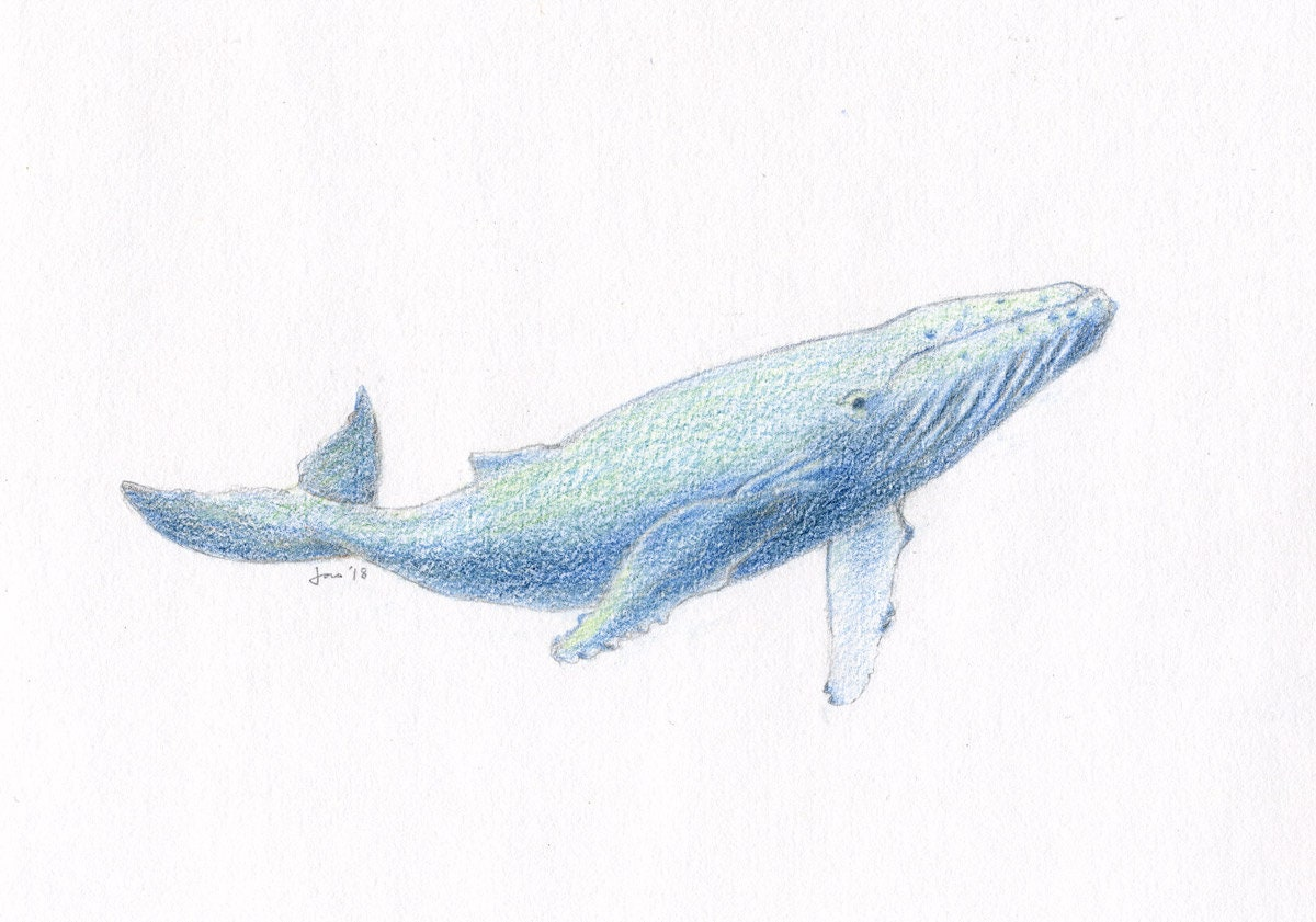 Original young humpback whale colored pencil sketch