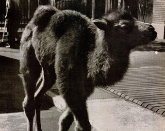 1946 Camel Central Park Zoo New York Photo Photograph Black & White Exotic Animal Print Poster Nostalgic Wall Art Home Decor