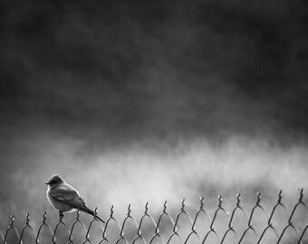 "Black and White Photographic Print, Bird Fine Art, Nature Photography, Wall Decor, Animal Home Decor - ""AWS Fence"""