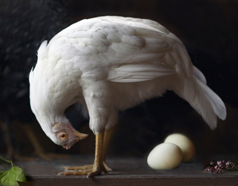 Fine Art Photography of a White Hen  by Lucy Snowe. COME CHECK OUT these gorgeous Etsy handmade decor finds for the home!