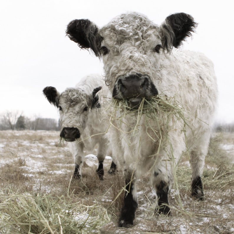 White Cow Photograph Two White Cows Animal Photography - by Lucy Snowe. COME CHECK OUT these gorgeous Etsy handmade decor finds for the home!