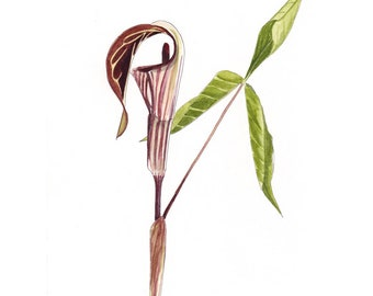 Jack-in-the-Pulpit - #129 - Archival Art Print