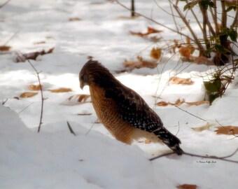 Winter Hawk- fine art print- hawk photography- bird photography- nature photography- wildlife photography- wall art- home decor- gift