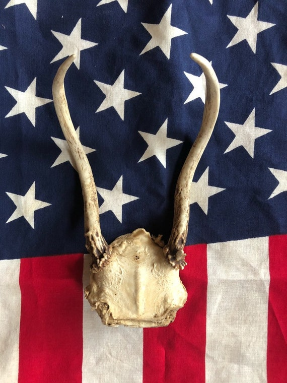"vintage 11"" unmounted deer antler, ready to mount or hang"