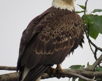 Bald Eagle, Narrowsburg, NY