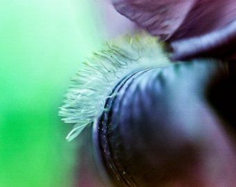 Macro Iris, Fine Art Photography Print