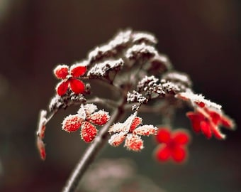 Flower Photography, Red Black Wall Art, Hydrangea Print, Winter Art, Frost, Nature Photograph