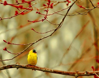 Goldfinch Print, Nature Photography, Bird Photo, Gold, Red, Yellow Bird, Spring