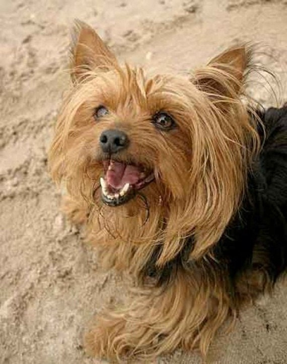 Free Crochet Yorkie Dog Patterns | The WHOot | 723x570