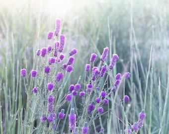 Flower Photography, Prairie Flowers, Nature Photograph, Purple Prairie Flowers, Wildflower Print, Country Home Wall Decor