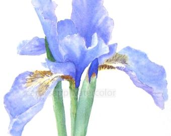 iris watercolor-iris painting-botanical watercolor-purple iris painting-botanical art-flower watercolor-flower painting-botanical painting