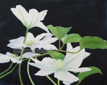 white clematis watercolor-clematic painting-clematis art-flower painting-flower watercolor-black and white-garden art-botanical art