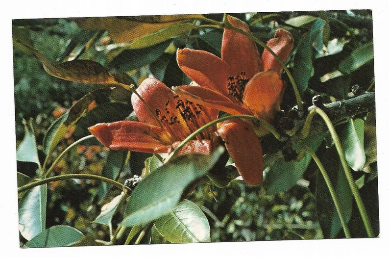Vintage Florida Chrome Postcard Clearwater Kapok Tree Inn Flower Blooms Up  Close View UNUSED