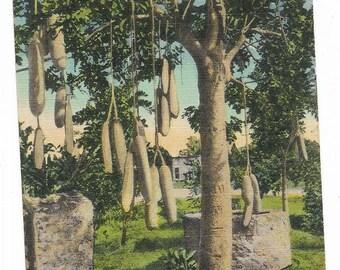 Vintage Florida Linen Postcard Miami Naranja Sausage Tree Wishing Well USED