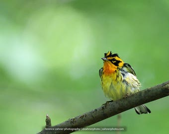 Blackburnian Warbler Photo   Wildlife Decor   Bird Decor   Nature Bedroom Bathroom Home Office Art   Songbird Print   Bird Lover Art