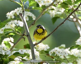 Canada Warbler Photo   Wildlife Decor   Bird Decor   Nature Bedroom Bathroom Home Office Art   Songbird Print   Bird Lover Art