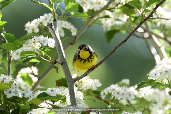 Canada Warbler Photo | Wildlife Decor | Bird Decor | Nature Bedroom Bathroom Home Office Art | Songbird Print | Bird Lover Art