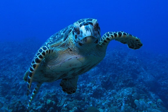 Sea Turtle Art Underwater Photography print of Friendly Turtle Tropical Decor Photograph