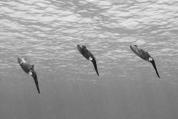 Squid Art Black and White Photograph of Three Reef Squid Nautical Decor Underwater Photography