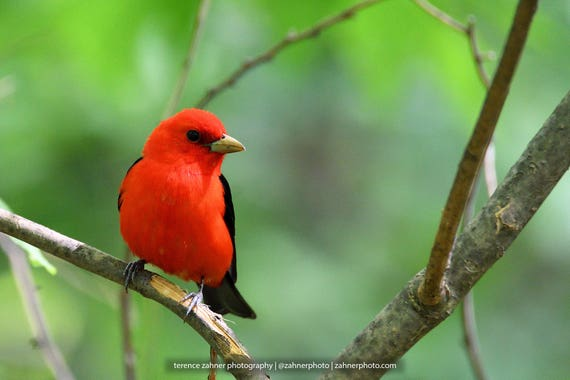 Scarlet Tanager Photo | Wildlife Decor | Bird Decor | Nature Bedroom Bathroom Home Office Art | Songbird Print | Bird Lover Art