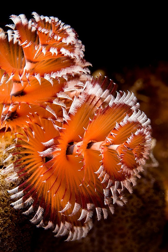 Tropical Decor Underwater Photography print of Christmas Tree Worm Orange Spiral Natural History Print