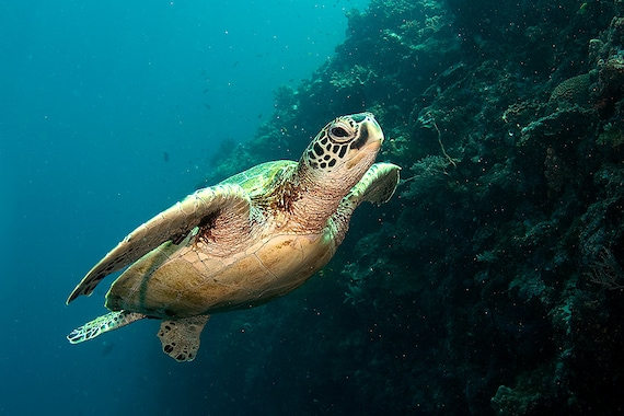 Sea Turtle Decor Underwater Photography print of Sea Turtle Swimming Underwater Nautical Decor Print
