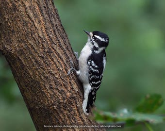Downy Woodpecker Photo   Wildlife Decor   Bird Decor   Nature Bedroom Bathroom Home Office Art   Woodpecker Print