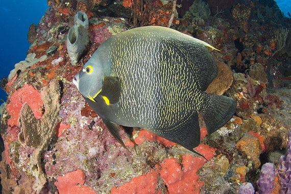 Tropical Fish Beach House Decor Underwater Photography print of French Angelfish - Fish Art