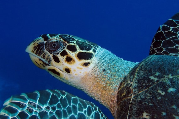 Sea Turtle Art - Underwater Photography Print Nautical Home Decor