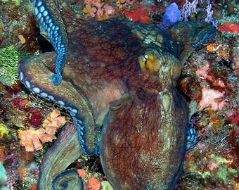 Octopus Decor Underwater Photography print Marine Biology