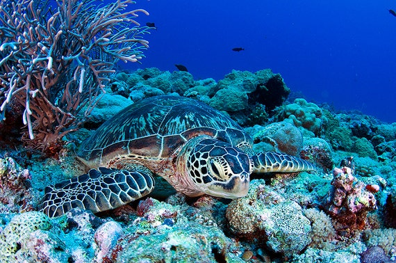 Sea Turtle Art ~ Sea turtle decor ~ Underwater Photography Print of resting sea turtle