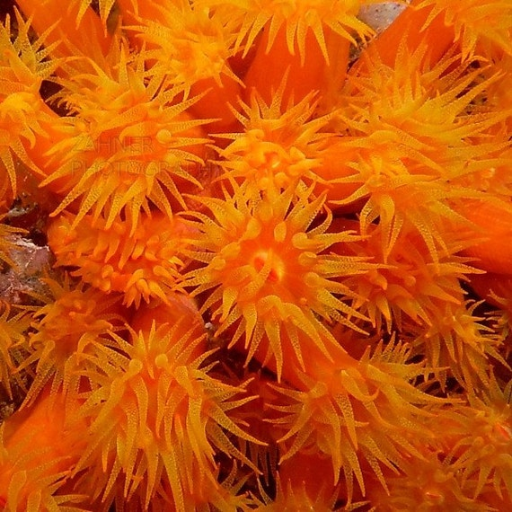Bright Orange Coral Tentacles Underwater Photography Modern Nautical Home Decor Abstract Wall Art
