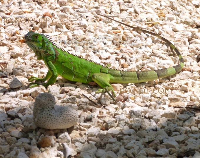 Iguana Photograph| Downloadable Print - Cayman Island Iguana  - Create Your Own Art| Digital  Photo Gift Idea