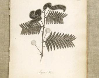 Antique Botanical Book Plate Engraving, Mimosa Tree, Fine Art Print, Miller, Berries, 19th Century, Evergreens, Nature, Paper Ephemera