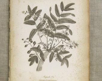 Longman Engraving , Antique Book Plate , Anquah , Plate , Plant , Heath , Botanical , Africa , 19th Century , Antique Prints , Art