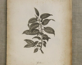 Antique Botanical Book Plate, Longman Engraving, Plant, Heath, Africa, 19th Century,Antique Prints