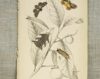 Antique Insect Bookplate, Hand Colored, Moths, Flying Bugs, Caterpillars, Samuel Highley, 19th Century, W.H. Lizars, Naturalist Library,Rare
