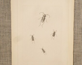 Antique Insect Book Plate, Illustration, Science, Specimen, Paper Ephemera, Engraved Plate, Bugs, Frameable Wall Decor, Loose Art