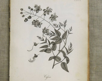 Longman Engraving , Antique Book Plate , Cafsia , Plate , Plant , Heath , Botanical , Africa , 19th Century , Antique Prints , Wall Art