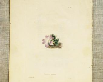 Antique Book Plate , Engraving , Hand Colored , Botanical Print , Loddiges , Primrose , Miniature Primrose , Antique Botanical , Flowers