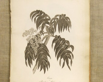 Antique Botanical Book Plate Engraving, Banksia, Proteas, Flowering Plant, Flowers, Heath, 19th Century, Antique Prints, Paper Ephemera,Art