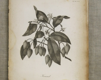 Antique Botanical Book Plate Engraving, Longman, Kummel, Flowering Plant, Heath, Illustration, Africa, 19th Century, Prints, Unframed Art