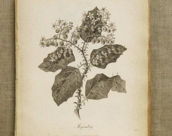 Longman Antique Botanical Book Plate Engraving, Merjombey, Plate, Plant, Heath, Africa, 19th Century, Antique Prints, Wall Art Decor