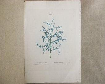 Antique Botanical Engraving, Redoute, Moret, Thuya, 19th Century Vintage Ephemera