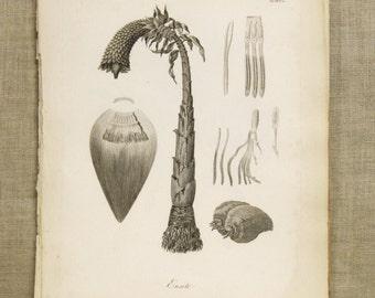 Antique Book Plate , Engraving , BananaTree , Heath , Botanical , Trees , Fruit , 19th Century , Banana , Africa , Antique Prints , Wall Art