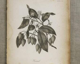 Antique Botanical Book Plate Engraving, Longman, Kummel, Flowering Plant, Heath, 19th Century, Prints