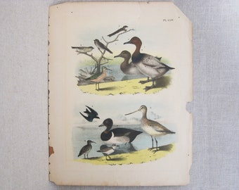Antique Bird Engraving, Vintage Hand Colored Duck and Water Fowl Bookplate, Theodore Jasper