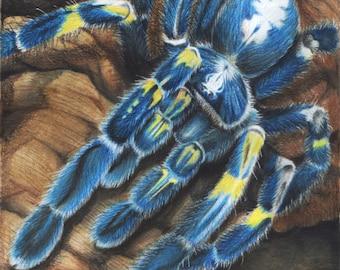 Gooty Sapphire Tarantula - Fine Art Print - By Laura Airey Le - P. Metallica Blue Spider Ornamental Arachnid Rain Forest Asia Bug