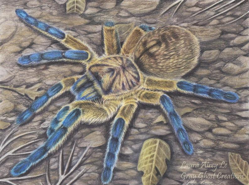 Golden Blue Leg Baboon Tarantula - 5 x 7 Fine Art Print - By Laura Airey Le  - H  pulchripes